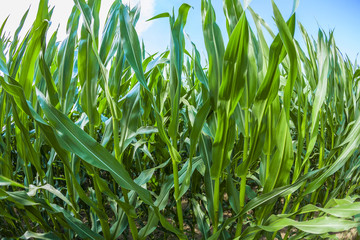 indian corn grows at the field