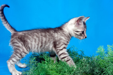 gray kitten in a green grass