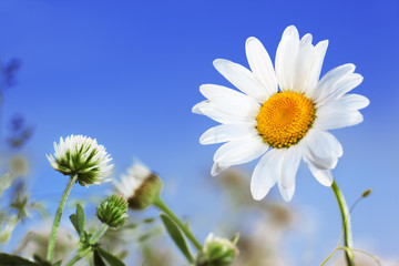 Camomile, clover and the blue sky