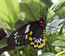 Black White Yellow and Red Butterfly
