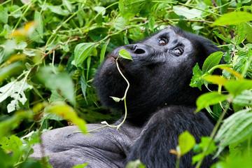 Mountain Gorilla, in the Bwindi National Park in Uganda.