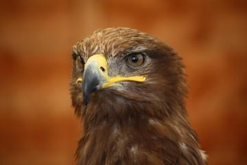 a striking golden eagle