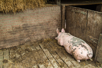 Mature pig lying alone in a stable