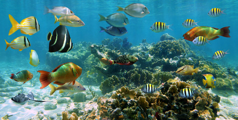 Garden Poster Under water Underwater panorama coral reef with shoal of colorful tropical fish, Caribbean sea