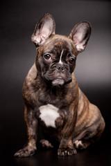 French bulldog puppy, 3,5 mounth old, on black background