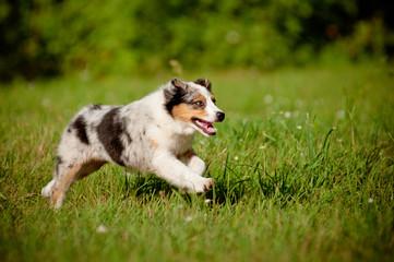 australian puppy running