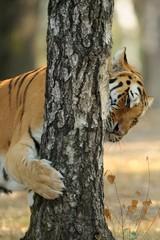Tigre siberiana
