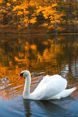 swan in fall
