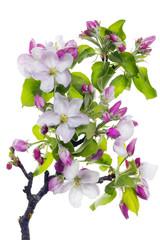 Pink blossom tree branch