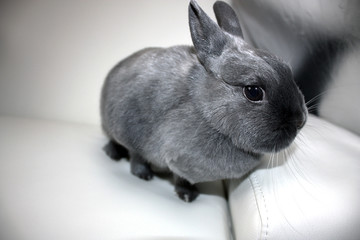 Dwarf Rabbit / Cute Pet on the couch