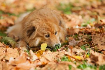 Elo liegt im Herbstlaub