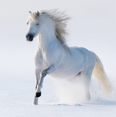 Fototapete - Galloping snow-white horse