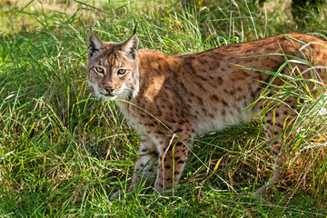 Wall Mural - Portrait of Eurasian Lynx Standing in Long Grass