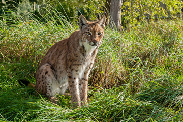 Wall Mural - Eurasian Lynx Sitting in Long Grass