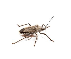 stink bug on white background