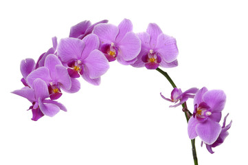 Flower beautiful pink orchid - phalaenopsis isolated