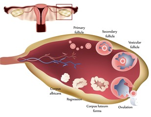 Female reproductive system. Female Ovary