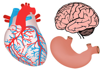 human heart, stomach and brain. vector medicine illistration