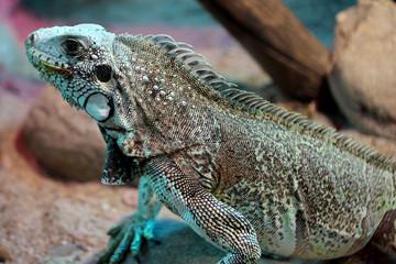Blue iguana in captivity