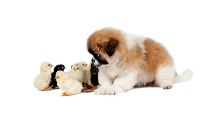 Pekingese with chickens on a white background