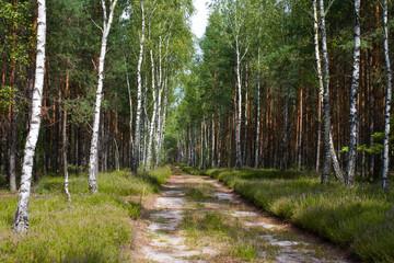 Keuken foto achterwand Berkbosje birch wood