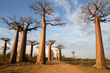 Photo sur Aluminium Baobab Allée des Baobabs, Morondava