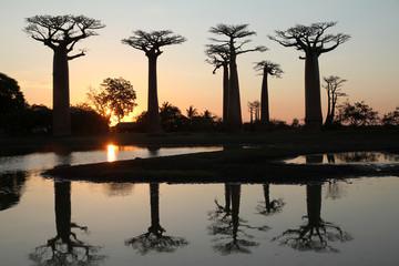 Printed roller blinds Baobab Allée des baobabs