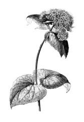 Flower : Valerian - Valériane - Baldrian