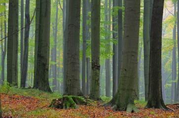 Buchenwald im Nebel - beech forest in fog 10