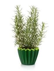 Sweet rosemary plant