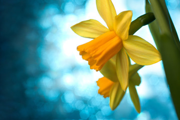 Beautiful yellow narcissus or daffodil flowers background