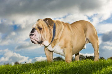 Beautiful dog english bulldog outdoors