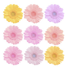 colorful beautiful background of gerbera flowers