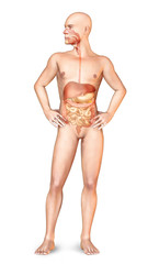 Male naked body standing, with full digestive system superimpose