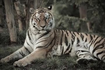 tigre sauvage