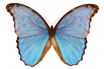 Butterfly species Morpho godarti assarpai