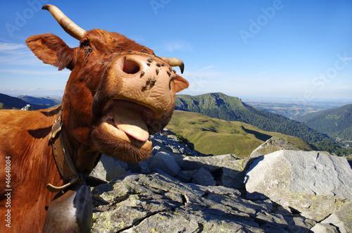 Vache salers arri re plan montagne photo libre de - Image de vache drole ...