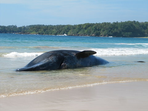 Beached dead Whale