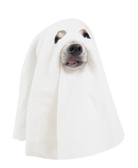chihuahua dressed as a ghost