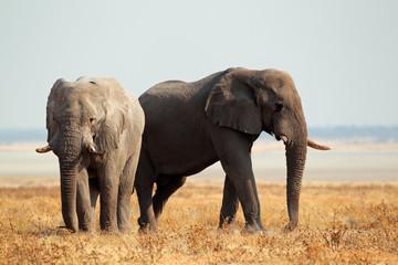 African elephants, Etosha National Park