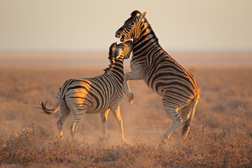 Fighting Zebras, Etosha National Park Wall mural