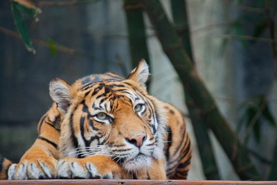 Endangered Sumatran Tiger