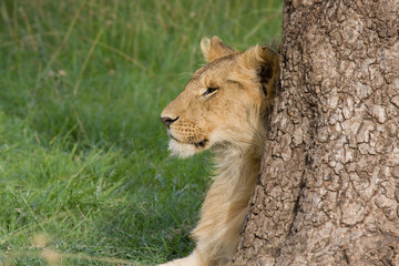 Giovane leone