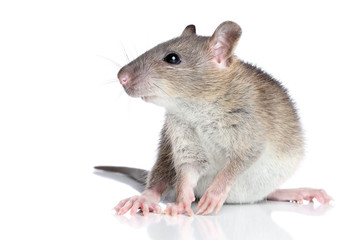 Wall Mural - Rat on a white background