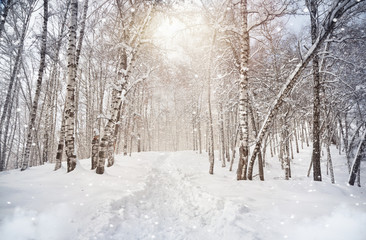 Winter birchwood