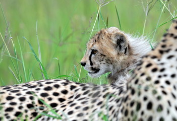 Cheetah mother and cub at Serengeti National Park in Tanzania