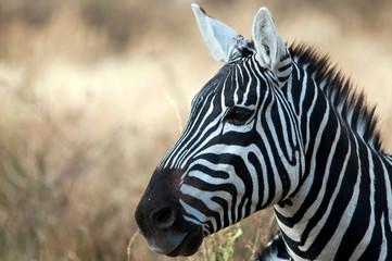 Zebra in the Serengeti National Park, Tanzania
