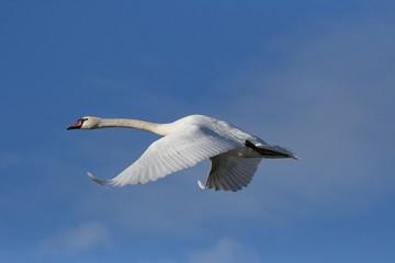 Swan (Cygnus olor) flying in the blue sky.