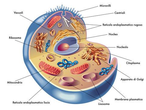 cellula umana