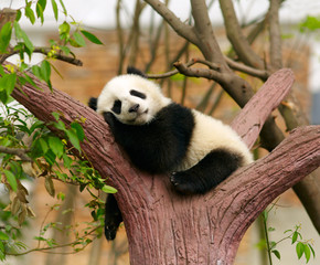 Photo sur Aluminium Panda Sleeping giant panda baby